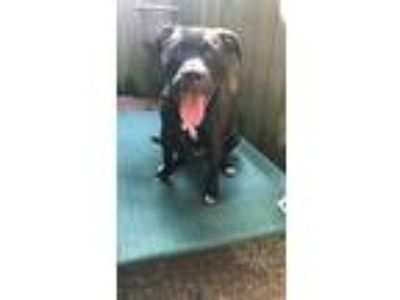Adopt Ziggy a Black - with White Labrador Retriever / Bull Terrier dog in