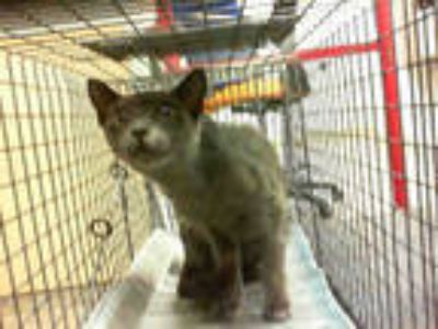 Adopt a Gray or Blue Domestic Shorthair / Mixed (short coat) cat in Doral