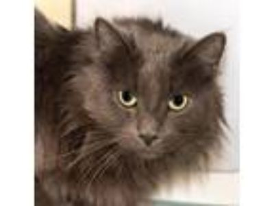 Adopt Louie a Gray or Blue Domestic Longhair / Mixed (long coat) cat in