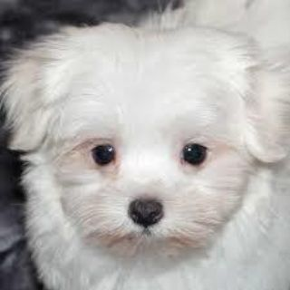 Puppies Animals And Pets Classifieds In Rochester Ny Clazorg