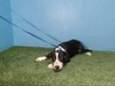 Adopt DEEBOI a Black - with White American Pit Bull Terrier / Mixed dog in