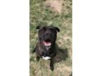 Adopt Trip a Black Boxer / American Pit Bull Terrier / Mixed dog in Cheyenne