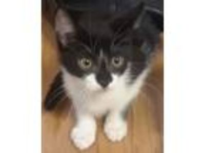 Adopt Chicklet a Black & White or Tuxedo Domestic Shorthair / Mixed cat in