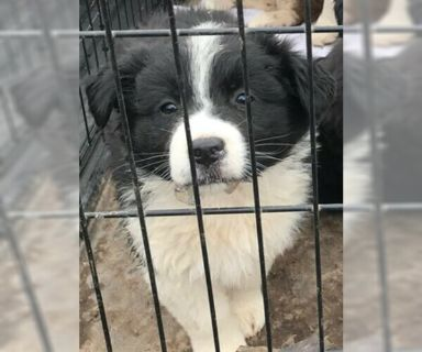 Australian Shepherd PUPPY FOR SALE ADN-119688 - Austrian Shepherds for sale