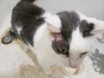Adopt Harvey a Black & White or Tuxedo American Shorthair cat in Franklinton