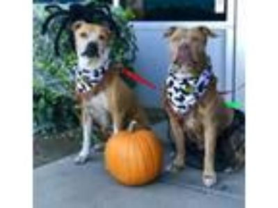 Adopt Lucy and King a Boxer, Pit Bull Terrier