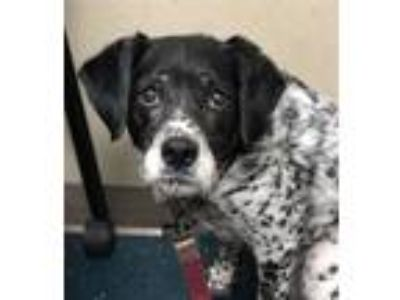 Adopt Zoey a Australian Cattle Dog / Blue Heeler, Pointer