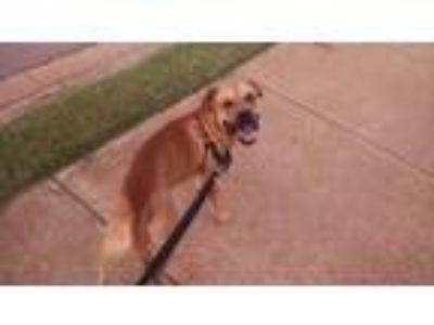 Adopt ASA a Tan/Yellow/Fawn Labrador Retriever / Boxer / Mixed dog in