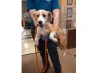 Adopt RIVER a Tan/Yellow/Fawn Retriever (Unknown Type) / Mixed dog in Mesquite