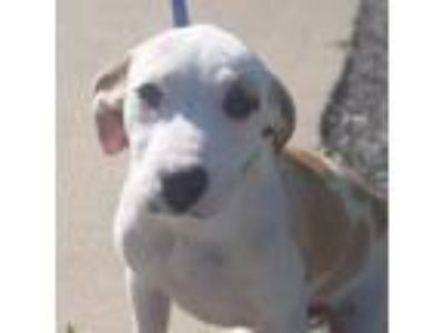 Adopt Romeo a White - with Tan, Yellow or Fawn Terrier (Unknown Type