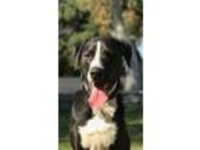 Adopt Moose a Black - with White Labrador Retriever / Great Dane / Mixed dog in