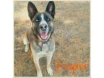 Adopt Jasper a Husky / Shepherd (Unknown Type) / Mixed dog in Lagrange
