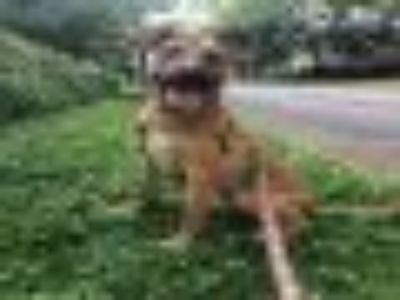 REID Boxer - Mixed Breed Dog