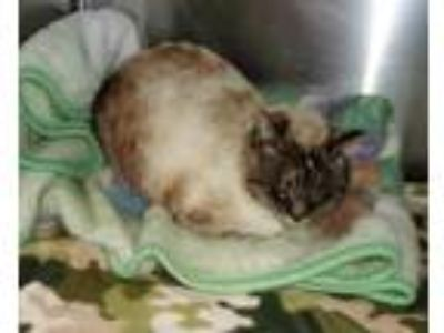Adopt Britches a Siamese / Mixed (short coat) cat in Greeneville, TN (25093551)