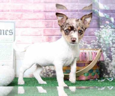 Chihuahua PUPPY FOR SALE ADN-128995 - Nacho Very Attractive Rare Merle Chihuahua