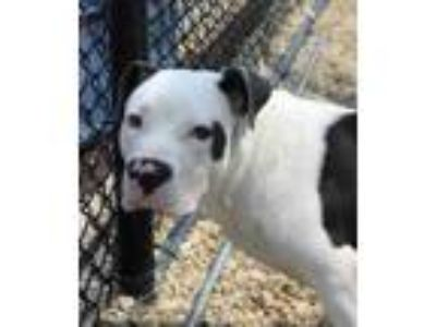 Adopt Zephyr a White American Pit Bull Terrier / Mixed dog in Columbia