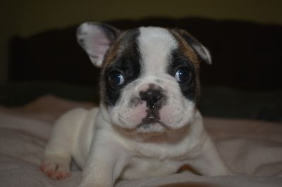 French Bulldog PUPPY FOR SALE ADN-80917 - Pied Male