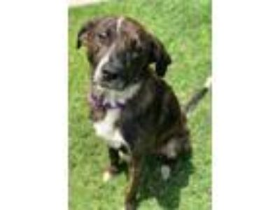 Adopt Whatley a Catahoula Leopard Dog, Mixed Breed