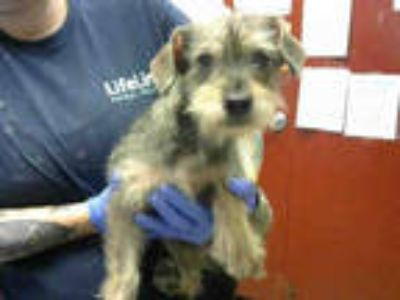 Adopt HENRY a Tan/Yellow/Fawn Cairn Terrier / Mixed dog in Atlanta
