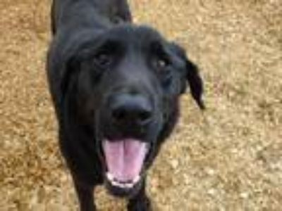 Adopt Faulkner a Black Mixed Breed (Large) / Mixed dog in Athens, AL (25294165)