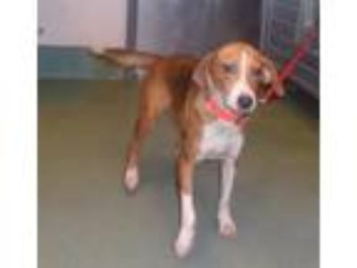 Adopt Surprise a Hound (Unknown Type) / Beagle / Mixed dog in Raleigh