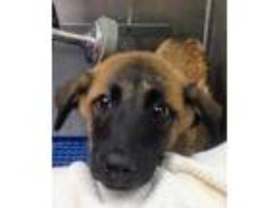 Adopt Brelyn a Brown/Chocolate Shepherd (Unknown Type) / Mixed dog in Florence