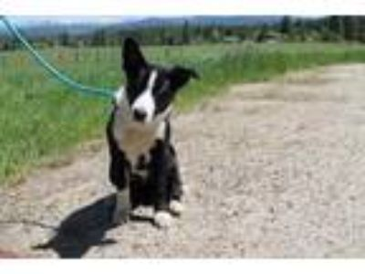 Adopt Payette a Black Border Collie / Mixed dog in McCall, ID (25537605)
