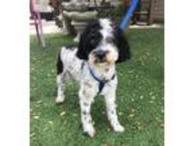 Adopt Jackson a Black - with White Miniature Poodle / Mixed dog in Temecula