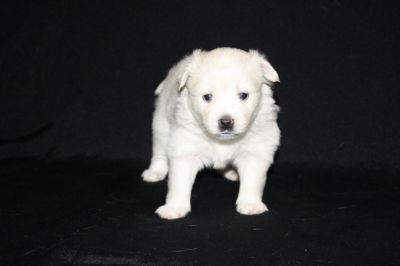 Pomsky PUPPY FOR SALE ADN-62439 - Pomsky Puppies