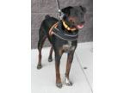 Adopt James a Black Doberman Pinscher / Mountain Cur / Mixed dog in White Bluff