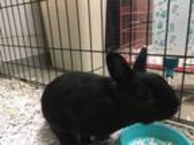 Adopt JACK a Black Other/Unknown / Mixed rabbit in Dallas, TX (25848850)