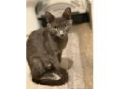 Adopt Citrine a Gray or Blue Russian Blue (short coat) cat in Los Angeles