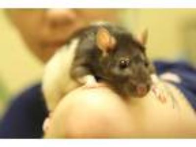Adopt Bonnie a Black Rat small animal in Independence, MO (25277537)