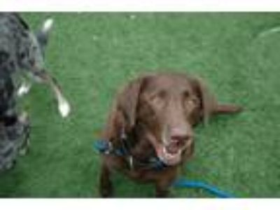 Adopt Baylee a Brown/Chocolate Labrador Retriever / Mixed dog in Bedford