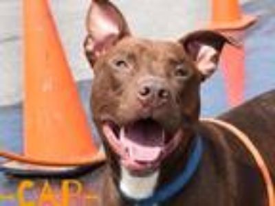 Adopt Cap a Red/Golden/Orange/Chestnut Pit Bull Terrier / Mixed dog in Wichita