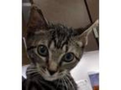Adopt Scout a Domestic Short Hair