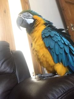male and female macaw and african gray parrots ready for new homes