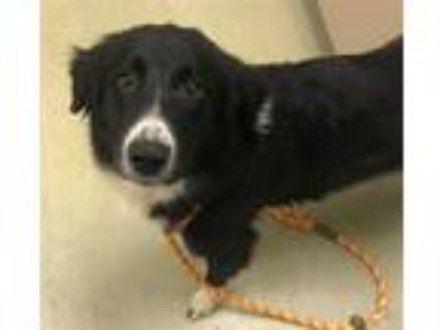 Adopt Marvel a Border Collie / Mixed dog in Napa, CA (25366651)