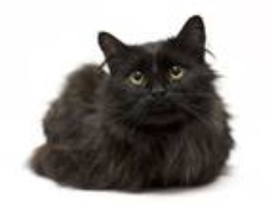 Adopt *Donovan a Black (Mostly) Domestic Longhair (long coat) cat in Sioux