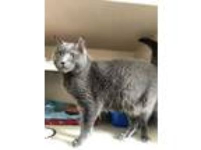 Adopt Nigel a Gray or Blue Russian Blue / Domestic Shorthair / Mixed cat in Fort
