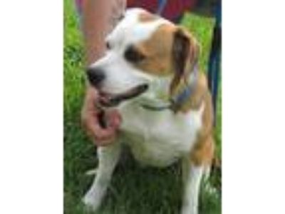 Adopt Sparkle a White - with Brown or Chocolate Boxer / Beagle / Mixed dog in