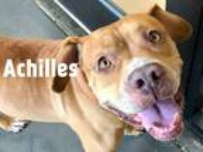 Adopt Achilles a Pit Bull Terrier