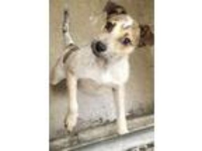 Adopt Billie in KY a Jack Russell Terrier