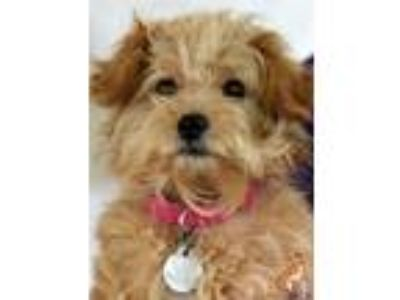 Adopt Mia a Tan/Yellow/Fawn Poodle (Miniature) / Mixed dog in Roanoke