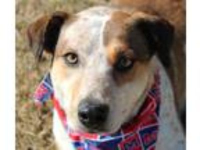 Adopt Kitty a Red/Golden/Orange/Chestnut - with White Australian Cattle Dog /