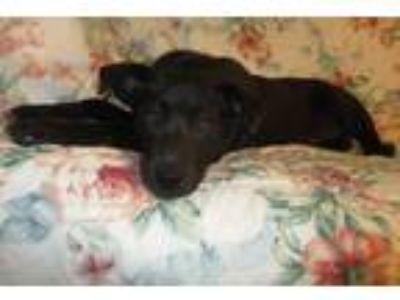 Adopt Mikey a Black Manchester Terrier / German Pinscher / Mixed dog in