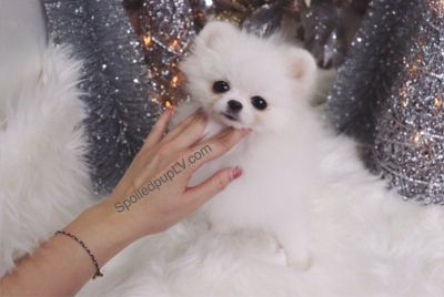 Pomeranian - Kiki - Female