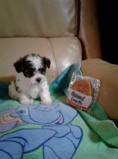 YorkieBichon  puppies Adorable  POLK COUNTY FL