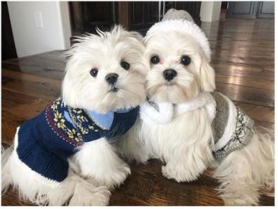 Litter of AKC Maltese puppies