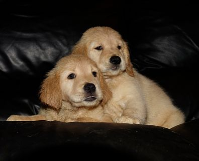 Golden Retriever PUPPY FOR SALE ADN-91094 - AKC Golden Retriever Puppies